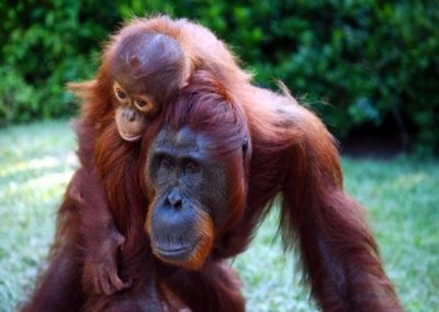 Wild Orangutan Tour 4 Days / 3 Nights