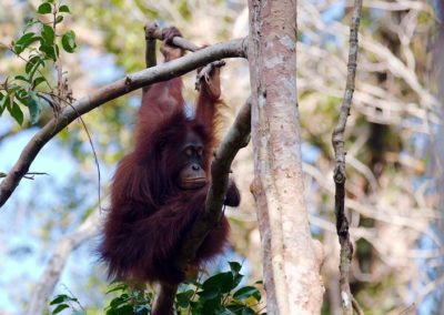 Orangutan Tour 2 Days / 1 Night