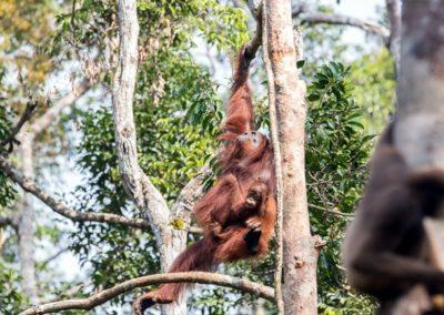 Orangutan Travel