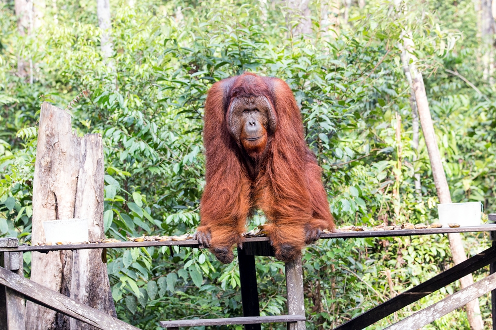 Wild Orangutan Tour. 4 Days/3 Nights