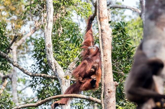 Welcome To Orangutan Voyage
