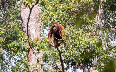 Follow Up A Wild Orangutan
