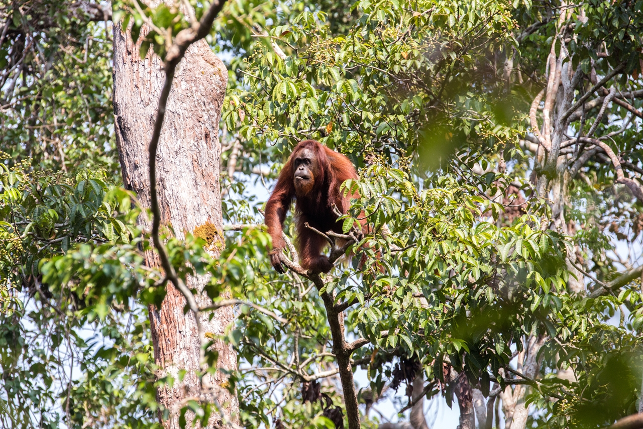 Follow Up A Wild Orangutan